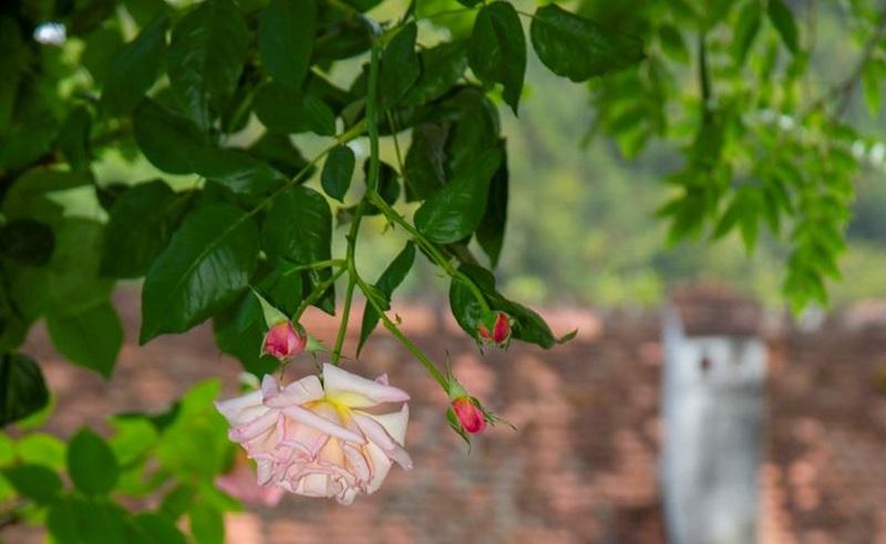 Herberstein Rose